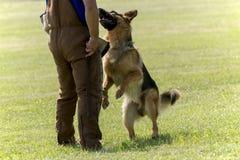 Cane poliziotto nell'addestramento immagine stock