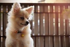 Cane pomeranian del cucciolo Fotografie Stock
