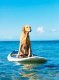 Cane praticante il surfing Immagini Stock