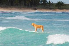 Cane praticante il surfing nella Repubblica dominicana Fotografie Stock
