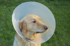Cane preoccupato di golden retriever con il cono Immagine Stock
