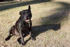 Cane puro della razza di Staffi Fotografie Stock Libere da Diritti