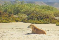 Cane randagio che appende intorno sulla spiaggia che gode dell'acqua Immagini Stock Libere da Diritti