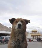 Cane randagio in Leh, Ladakh fotografia stock
