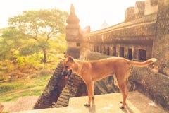 Cane randagio nel tempio Fotografia Stock