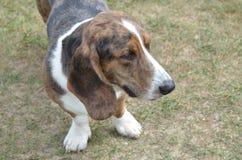Cane realmente sveglio di Basset Hound fotografia stock libera da diritti