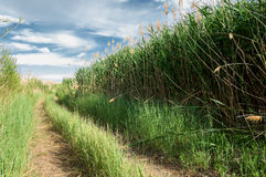 Cane, reed, rush, thatch, frail Stock Photo