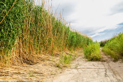 Cane, reed, rush, thatch, frail. Reeds growing along the road. Kazakhstan. Altyn Emel National Park Stock Photography