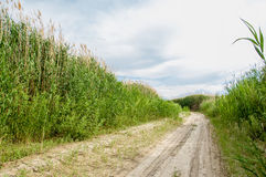 Cane, reed, rush, thatch, frail. Reeds growing along the road. Kazakhstan. Altyn Emel National Park Stock Images