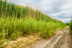 Cane, reed, rush, thatch, frail Royalty Free Stock Photography