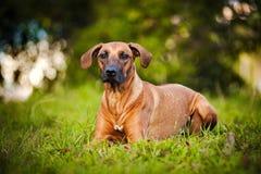 Cane Ridgeback che si trova sull'erba Fotografie Stock