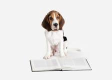 Cane Ritratto del cucciolo del cane da lepre su un fondo bianco immagini stock libere da diritti