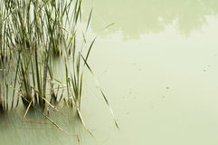 Cane in River Royalty Free Stock Photography