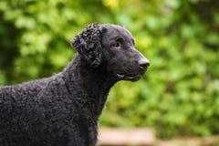 Cane rivestito riccio nero del documentalista Fotografia Stock
