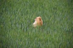 Cane rosso Fotografia Stock