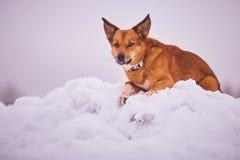 Cane rosso che gioca nella neve fotografia stock
