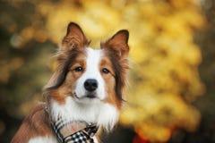 Cane rosso che porta una sciarpa in autunno Immagine Stock Libera da Diritti