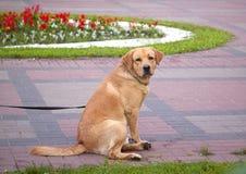 Cane rosso che si siede nel parco Fotografia Stock
