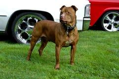 Cane rosso del pitbull del radiatore anteriore Fotografie Stock