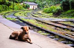 Cane rosso dello Sri Lanka Fotografia Stock Libera da Diritti