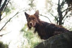 Cane rosso di border collie che si siede su un ceppo Fotografia Stock Libera da Diritti