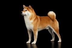 Cane rosso di razza di inu di Shiba che sta sul fondo nero isolato Immagini Stock