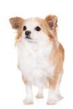 Cane rosso e bianco della chihuahua Immagini Stock