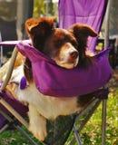 Cane rosso e bianco di border collie, addormentato sulla sedia porpora immagini stock