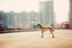Cane rosso e bianco riccio di razza sul backgroud della città Fotografia Stock Libera da Diritti
