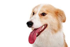 Cane rosso su bianco Immagine Stock Libera da Diritti