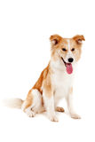 Cane rosso su bianco Fotografia Stock