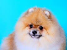 Cane rosso sveglio dello Spitz su un primo piano blu del fondo Fotografia Stock Libera da Diritti