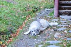 Cane rumeno della montagna Fotografia Stock Libera da Diritti