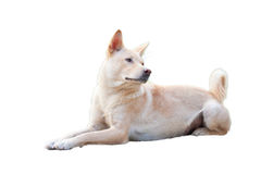 Cane rurale cinese nel fondo bianco Immagini Stock