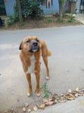 Cane rurale cinese fotografia stock libera da diritti