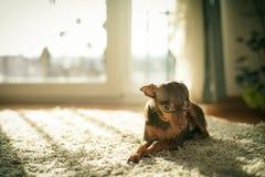 Cane russo del terrier di giocattolo Fotografie Stock