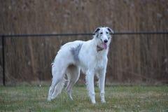 Cane russo del wolfhound dei borzoi Immagine Stock