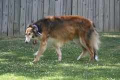 Cane russo del wolfhound dei borzoi Immagini Stock Libere da Diritti