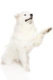 Cane samoiedo Fotografie Stock Libere da Diritti
