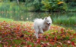 Cane samoiedo bagnato fatto funzionare su erba foglie di autunno nel fondo fotografie stock