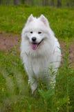 Cane samoiedo nel legno Fotografie Stock Libere da Diritti