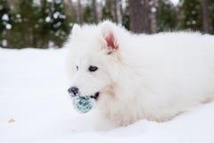 Cane samoiedo sulla neve Fotografia Stock