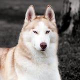 Cane sbalorditivo del husky fotografia stock libera da diritti