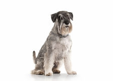 Cane Schnauzer miniatura su fondo bianco immagine stock libera da diritti