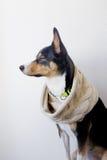Cane in sciarpa, venuta di autunno Fotografie Stock Libere da Diritti