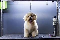 Cane scolpito del parrucchiere canino della piccola razza a casa Fotografie Stock Libere da Diritti