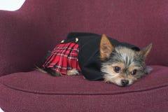 Cane scozzese immagine stock