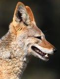 Cane selvaggio Immagini Stock Libere da Diritti