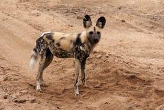 Cane selvaggio fotografie stock libere da diritti
