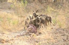Cane selvaggio ad un'uccisione Botswana Tom Wurl Immagine Stock Libera da Diritti